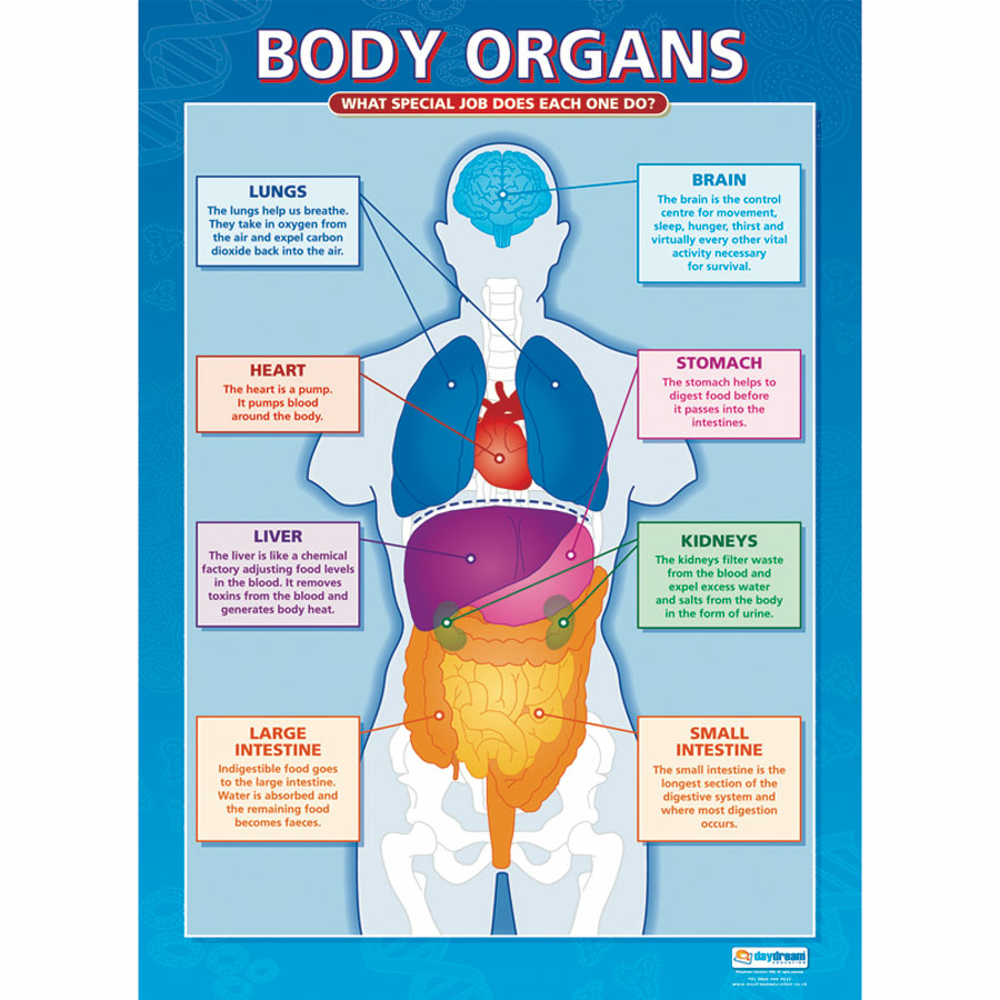 Picture of the body with organs