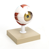 3x Life Size Human Eye Model  small