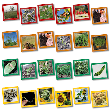 Plant Life Cycle Sequencing Cards  large