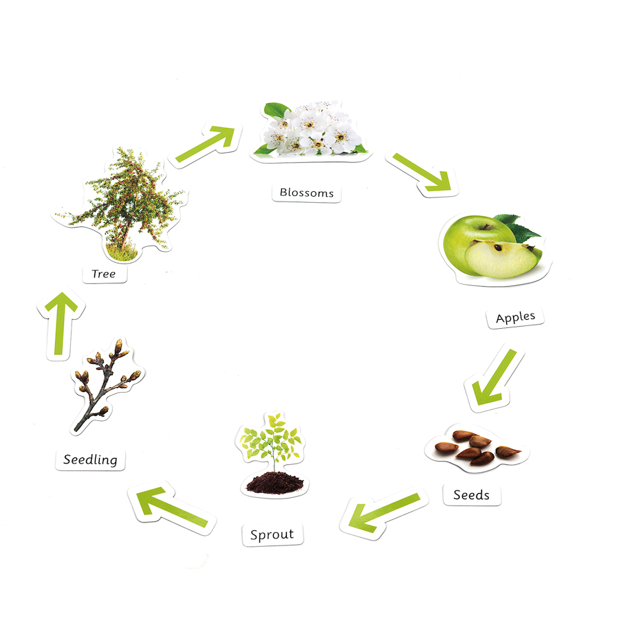 Buy Plant Life Cycle Magnetic Pieces | TTS