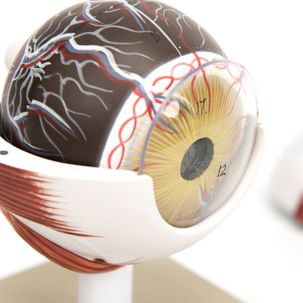 3x Life Size Human Eye Model  large