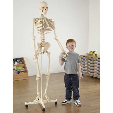 Life Size Replica Skeleton Model With Stand  large
