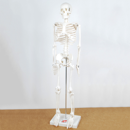 Replica Human Half Size Skeleton 85cm  large