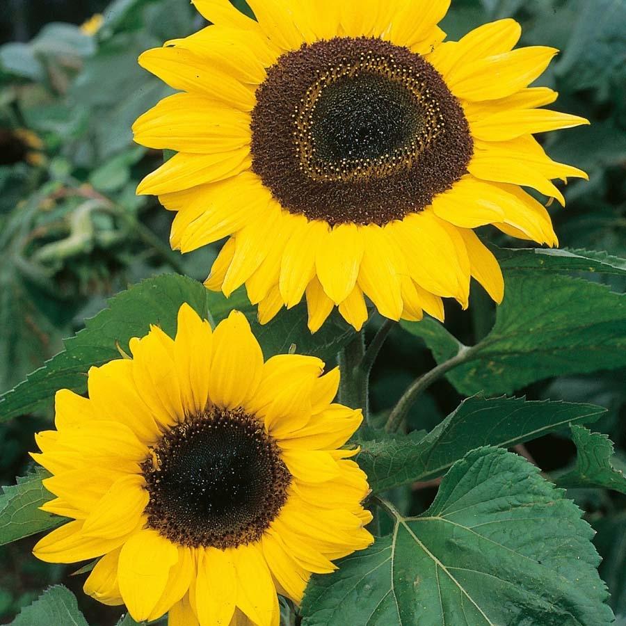 Buy Giant Sunflower Seeds Tts