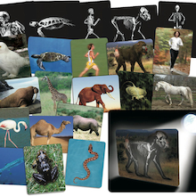 What's Inside Animals? A4 Picture Cards  medium