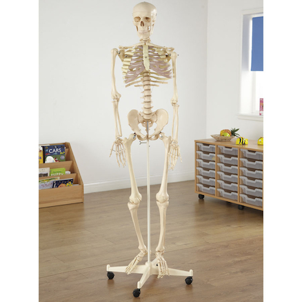 Life Size Replica Skeleton Model With Stand