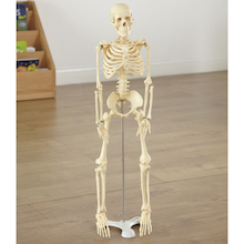 Replica Human Half Size Skeleton 85cm  medium