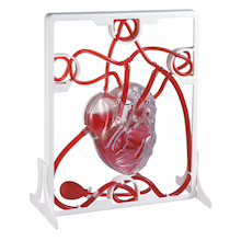 Pumping Heart Model  medium