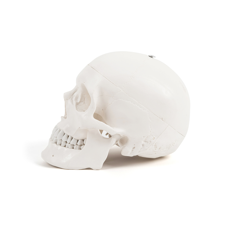 Buy life size replica skeleton model with stand tts for Replica mobel england