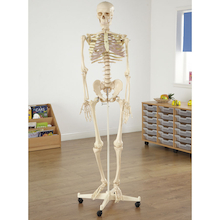 Life Size Replica Skeleton Model With Stand  medium