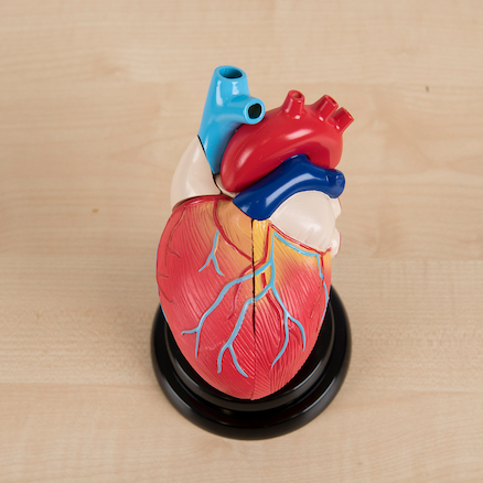 Heart Model And Cardiology Resources Kit  large