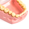 Teeth Dental Hygiene Model  small