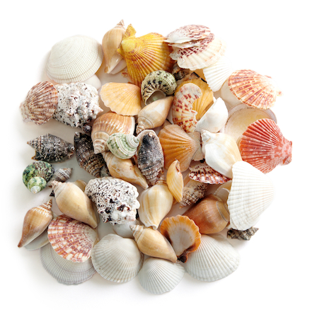 Assorted Sea Shells 800g  large
