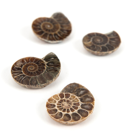 Polished Ammonites  large