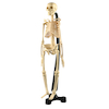 Mini Skeleton  small
