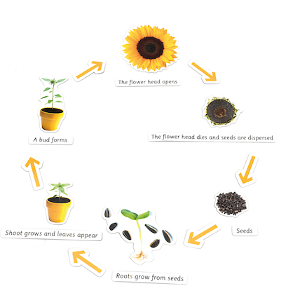 Plant Life Cycle Magnetic Pieces  large